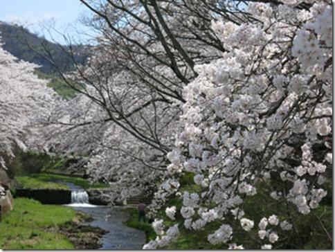 玉川堤の桜は満開です(JR玉水駅すぐ 京都・井手町 2014年4月3日撮影)
