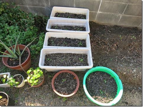コウサイタイの苗を植えました