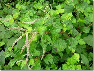草木染の染料にもなるマルバアカソ