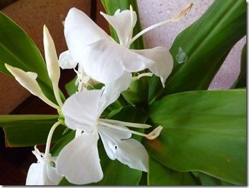 ジンジャーの白い花