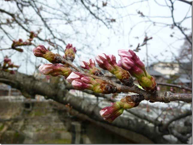 京都・井手玉川堤の桜はつぼみ(2013年3月26日撮影)