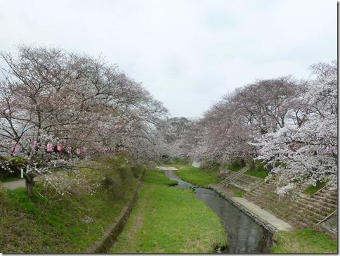 京都・井手玉川堤の桜は3分咲き(JR玉水駅すぐ 2013年3月29日撮影)