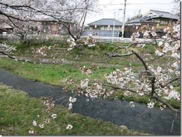 玉川堤の桜(京都・井手町)はいま5分咲き(2014年3月31日撮影)