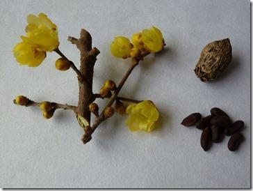 蝋梅の花、実、種子