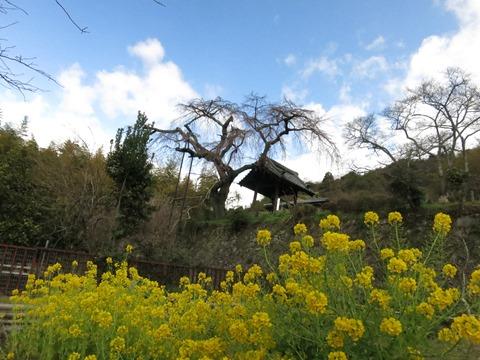 地蔵禅院のしだれ桜と菜の花畑