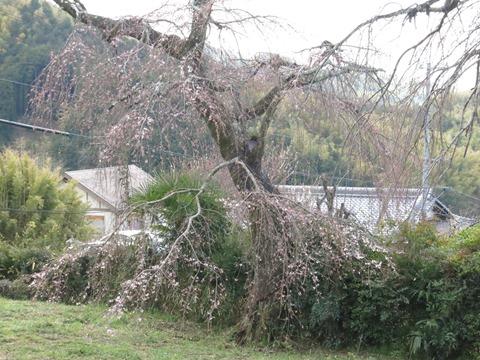 地蔵禅院のしだれ桜(子桜)