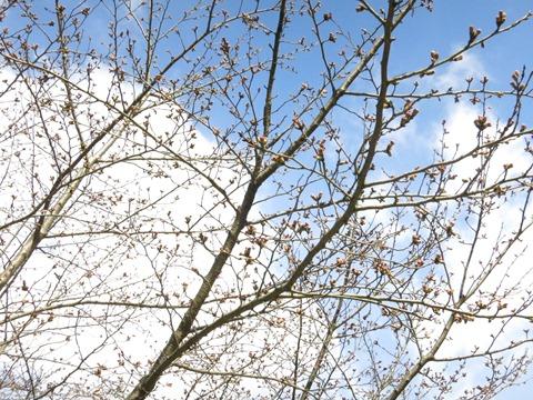 開花間近の玉川堤の桜(ソメイヨシノ)