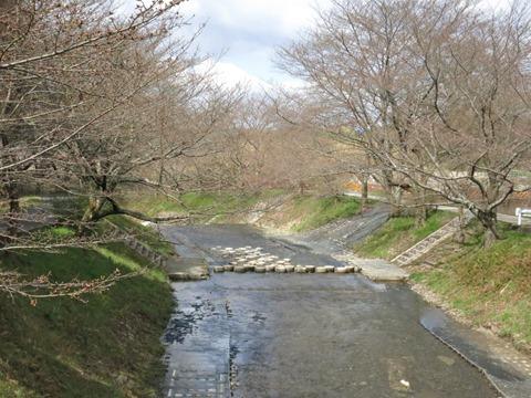 開花間近の玉川堤の桜(ソメイヨシノ)と玉川