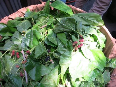 草木染めにする桑(クワ)の枝、実、葉