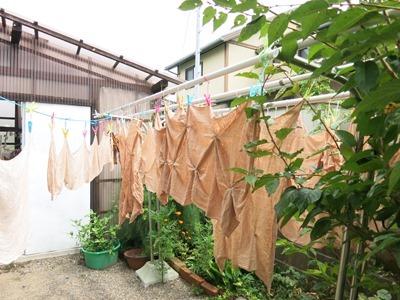 今日の草木染教室は柿渋