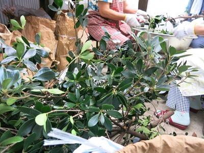 草木染にするモッコクの枝葉