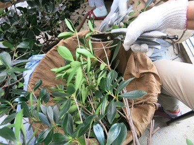 草木染にするモッコクの枝葉。刻みます
