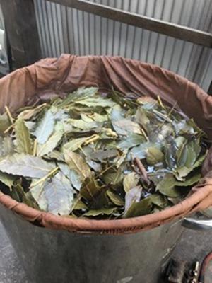 草木染用に月桂樹の枝葉を刻んで煮出します