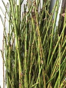 剪定した梅の枝。草木染に使います