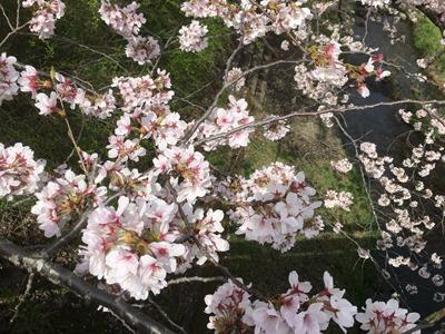 2016年4月5日午前撮影の玉川堤の桜(京都・井手町)