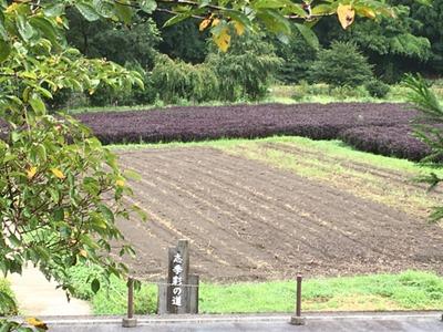 草木染の染料にもなる赤紫蘇(しそ)。色は緑色、抹茶色。