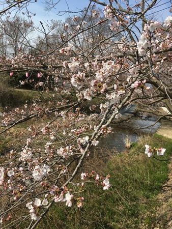 玉川堤(京都・井手町)の桜、2017年4月5日撮影