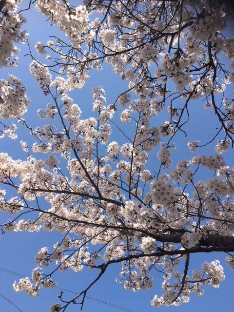 京都・井手町の王川堤の桜