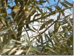 庭のオリーブの木にメジロが二羽