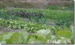 近くの畑で野菜を育てているYさんの畑(井手町)