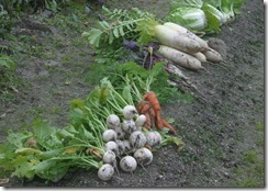 白菜、葱、にんじん、大根、かぶ、日の菜、チンゲン菜(井手町の畑)