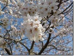 玉川堤桜は9分咲き