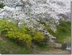 2010年4月5日撮影「玉川堤の桜と山吹」