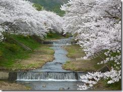 2010年京都府井手町玉川堤の桜ソメイヨシノ