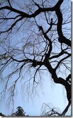 井手町の地蔵禅院のしだれ桜(冬)