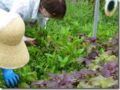 藍の生葉染めの方法1。藍を育て刈り取る