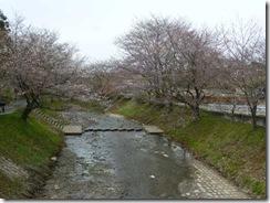 京都・井手町、玉川堤の桜(ソメイヨシノ)