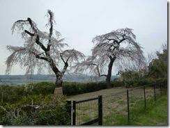 京都・井手町、地蔵禅院のしだれ桜(子桜)