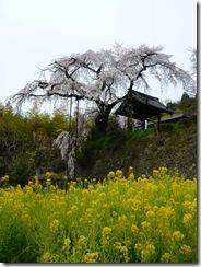 京都・井手町、地蔵禅院のしだれ桜