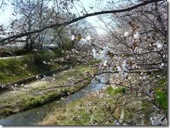 2011年玉川堤の桜、3分咲き