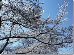 2011年玉川堤の桜、満開