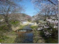 2011年玉川堤の桜