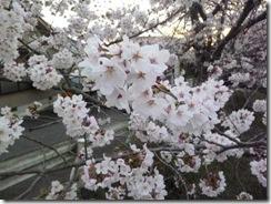 京都・井手町玉川堤の桜は満開