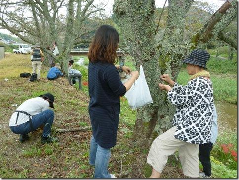 草木染の染料ウメノキゴケ採集中