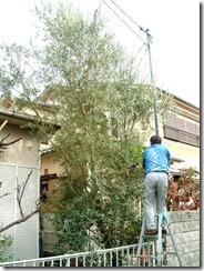 オリーブの木を剪定