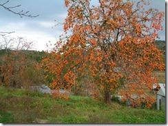秋の奈良の柳生の里の実った柿