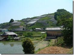 和束町の茶畑、寒冷紗がかけられている