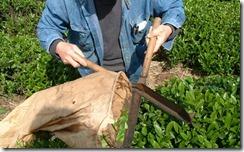 和束町の茶畑で草木染め用に茶葉を刈り取る
