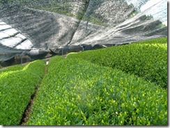 和束町の茶畑