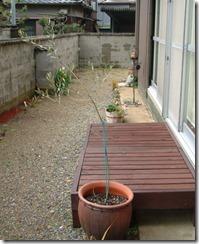野の花工房の庭のまだひょろひょろのオリーブの木