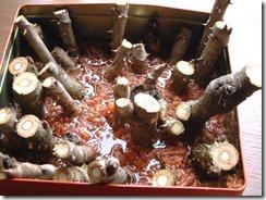 タラの芽水耕栽培(おがくずと水で)