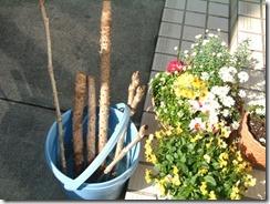タラの木の枝、この枝の先端を輪切りにして水耕栽培するらしい