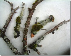 鳥取の八重桜の古木。コケやウメノキゴケが付いています