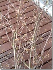 和歌山の桜の枝、草木染に使いました