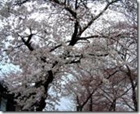 2009年玉川堤の桜