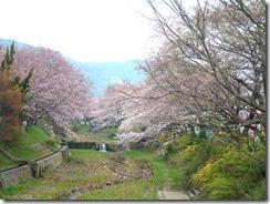京都・井手町、玉川堤のソメイヨシノ